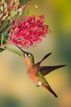 Brazilian ruby (Clytolaema rubricauda) by Octavio Campos Salles Pretty Birds, Love Birds, Beautiful Birds, Animals Beautiful, Animals And Pets, Cute Animals, Hummingbird Pictures, Hummingbird Garden, Hummingbird Nests