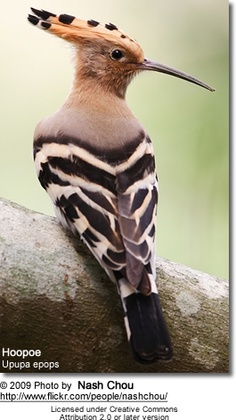 The Common Hoopoe is a colorful bird. Found across Europe, Asia & North Africa with crown like feather in head. During migration the bird has been seen by Mount Everest Expedition. Pretty Birds, Beautiful Birds, Animals Beautiful, Cute Animals, Names Of Birds, Kinds Of Birds, Exotic Birds, Colorful Birds, Hoopoe Bird