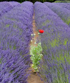 The Visitor - A Red Poppy in the Lavender field.