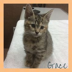Grace is living up to her name. She is such a sweet, gentle little girl! #kittenvaccinations #millwoodseastpets #edmontonvet