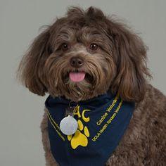 Meet Lollie - UCLA PAC Volunteer. Her favorite treat is chicken strips.