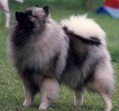 keeshond | keeshond dog information pets puppy chien loup deutscher wolfsspitz ...