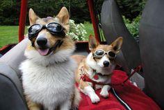 Sun Goggle Corgis