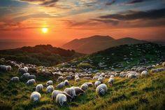 夕陽下的羊