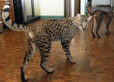 The Savannah is a domestic hybrid cat breed. It is a cross between a serval and a domestic cat. Huge Cat, Big Cats, Crazy Cats, Cool Cats, Cats And Kittens, Kitty Cats, Cats Bus, Large Domestic Cat Breeds, Large Cat Breeds