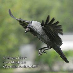 Corvus monedula eb2584