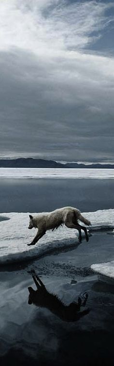 Wolf traveling the ice pack.  Work was like this.  Finding the next place before the one you were on melted down.