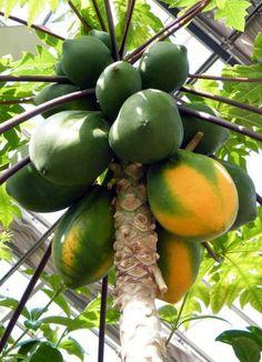 Como plantar mamão. O mamão é uma fruta natural de clima tropical que se adapta…