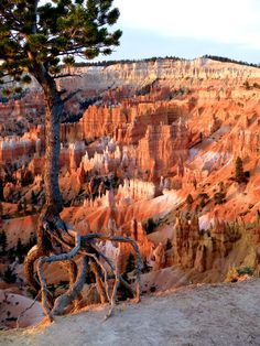 Unusual walking trees of Utah. If the ground is too hard, they literally uproot…