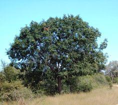 Berchemia zeyheri (Red ivory) - Warthog Lodge