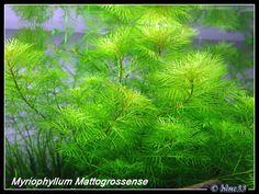 Shrimps Favourite plant, myriophyllum mattogrossense