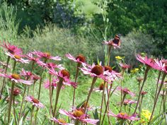 Echinacea 'Northwind'  This Echinacea will never sell in retail.  It's too big in a container, too open in a container,  It doesn't present well in a pot.   In the garden its strongly upright, has enjoyable, long flower production and bold structure through the winter.  One more characteristic, it lives.