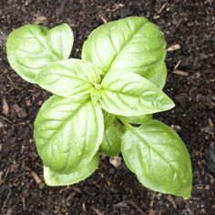 re tempted to toss a handful of fertilizer at your basil plant in hopes of creating a full, healthy plant, stop and think first. You may be doing more harm than good. Read this article to get additional info. Organic Fertilizer, Organic Gardening, Gardening Tips, Garden Fertilizers, Indoor Gardening, Organic Pesticides, Vegetable Gardening, Container Gardening, Indoor Plants