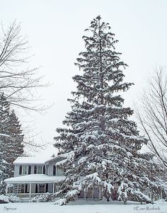 Spruce tree in front of house in Spencer (Tioga County), New York. Possibly one of the tallest spruces in the county.