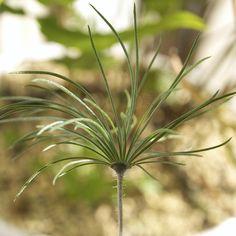 Eriospermum proliferum