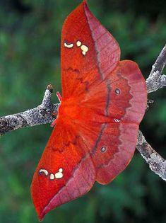 Pin by Zsuzsanna Schenk on Schmetterlinge Most Beautiful Butterfly, Beautiful Bugs, Amazing Nature, Cool Insects, Bugs And Insects, Beautiful Creatures, Animals Beautiful, Cute Moth, Moth Caterpillar