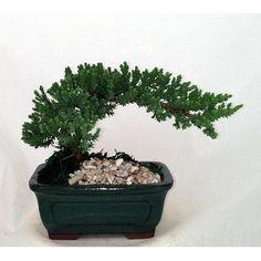 Hirts: House Plant -'Japanese Juniper' Mini Bonsai Plant - 5 ... Maybe for a apt appropriate X-Mas tree?