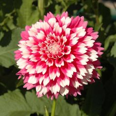 20 pcs/bag Multi-color dahlia seeds, dahlia flower, bonsai flower seeds for home garden plant pot High sprouting easy grow Unusual Flowers, Amazing Flowers, My Flower, Beautiful Flowers, Dahlia Flowers, Beautiful Swan, Herbaceous Perennials, Home Garden Plants, Flower Seeds