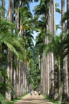 The Imperial Palms - Rio de Janeiro. The first one (named Palma Mater) was brought to Brazil during the colonial era (1809) by King D. João VI. The Imperial palms can reach 40 meters.