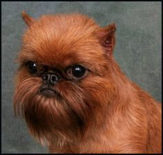 brussels griffon.... I am laughing at his haircut.