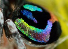 The Most Beautiful (and Beastly) Creature: Rainbow Jumping Spider - The Featured Creature Cool Insects, Bugs And Insects, Beautiful Bugs, Most Beautiful, Bokeh, Spiders And Snakes, Scary Spiders, Tattoo Symbole, Itsy Bitsy Spider