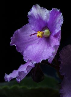 African Violet -  Side View by Picture Zealot, via Flickr
