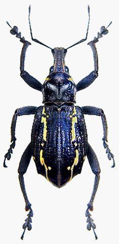 Gymnopholus urticivorax (Gressitt, 1966) F Curculionidae