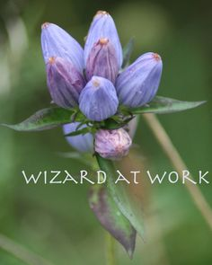Bottle Gentian Flower Photograph  purple blue by WizardAtWork, $18.00