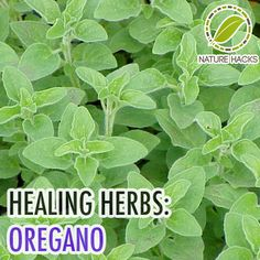 Healing Herbs: The History and Health Benefits of Oregano