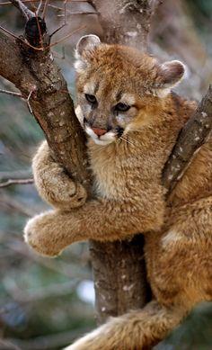 Eastern Cougar Cub