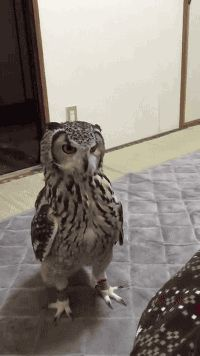 """Lol idk why this is funny, but it is<<<I feel like they threw a fake mouse and the owl is giving the thrower a """"wtf you do that for"""" look lol Cute Funny Animals, Funny Animal Pictures, Funny Cute, Funny Owls, Owl Gifs, Beautiful Birds, Animals Beautiful, Animals And Pets, Baby Animals"""