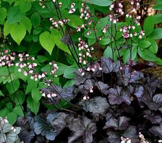 Dark chocolate Heuchera