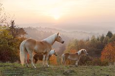 Haflingers in the mountains.jpg - Haflingers in autumn in the mountains at…
