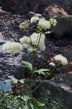 Trautvetteria caroliniensis—Carolina bugbane. Regional Parks Botanic Garden Picture of the Day. 15 Aug 2016