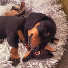 Peaceful baby enjoying a cuddle with her mini sausage . Peaceful baby enjoying a cuddle with her mini sausage Credit by Tag a friend who needs to see this cutie . Dapple Dachshund, Long Haired Dachshund, Dachshund Mix, Funny Dachshund, Daschund, Miniature Dachshund For Sale, Dachshunds For Sale, Pets, Pet Dogs
