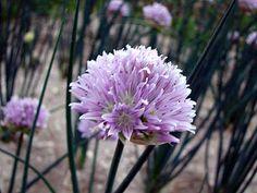 Gärtnerei Naturwuchs -- Allium -- Laucharten (H) -- Allium ledebourianum --