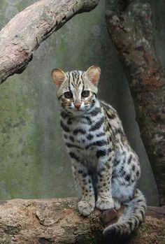 A rare Ocelot, these have recently been seen in the forests of Northern Burma Small Wild Cats, Big Cats, Cool Cats, Beautiful Cats, Animals Beautiful, Cute Animals, Ocelot, Lynx, Kittens Cutest