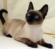 seal point siamese cats personality