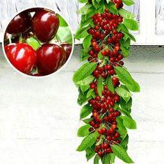 Беккер - Черешня колоновидная красная