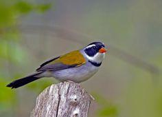 Tico-tico-do-bico-amarelo (Arremon flavirostris)