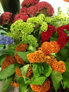 Beautiful coxcomb flower, I saw this at the international floral show.