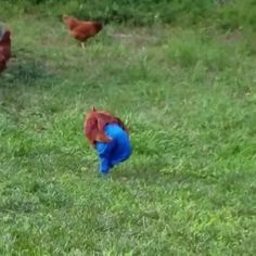 Chicken wore pants - Coub - The Biggest Video Meme Platform by SlyFox Denim Chicken, Best Funny Pictures, Memes, Pants, How To Wear, Internet, Trouser Pants, Women Pants, Animal Jokes