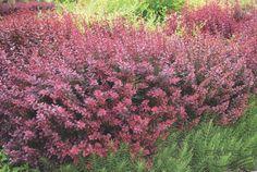 BERBERIS thunbergii 'Atropurpurea', Барбарис Тунберга `Атропурпуреа` | Pflanzen…