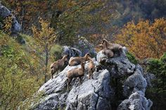 Opi (Abruzzo - Italy) - Chamois in the Abruzzo National Park   www.abruzzolink.com