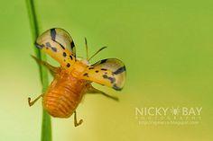 Tortoise Beetle (Aspidimorpha miliaris) - DSC_6084