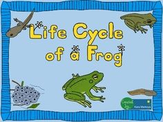 Great activity for teaching the life cycle of a frog.Contains 13 pages.Life Cycle wheel activity for students to label each phase of the life cycle, read about it, color and cut.  Use a brad to attach the cover so it turns to reveal each phase.Teacher full color sample is included so you don't have to color one!Story Cards:  Each phase has a large picture teaching card with interesting, fun facts on the back for you to read and teach.