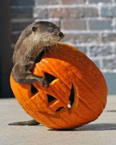 Image result for halloween otter