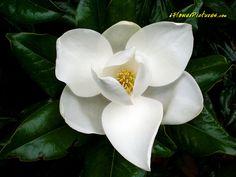 White Magnolia Tree Blossom http://www.iflowerpictures.com/magnolia-flower-pictures/