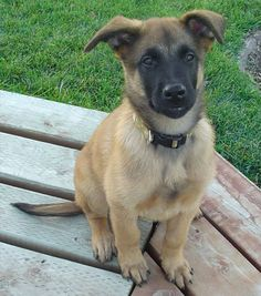 Belgian Sheepherd Dog | Belgian Shepherd Dog Malinois And Wallpapers The Beautiful Pictures