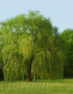 Willow in spring: my favorite tree!